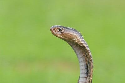 ブラビオンS(BRAVION S)は天然のコブラまで配合